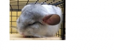 Chinchilla blocklink2